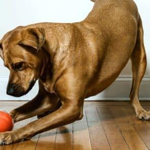 PlayDate, la balle connectée pour chiens et chats